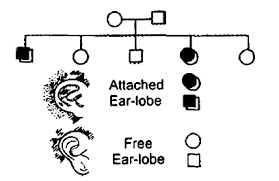 Pedigree Chart For Free Or Attached Earlobes Given Below Is Pedigree Chart Of A Family With Five Children