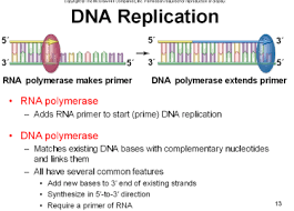 Dna Replication Definition Ch 12 Dna Rep And Manip At Northwest University Studyblue