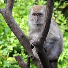 real jungle animals monkeys. Brilliant Animals Photo Of Monkey Jungle  Miami FL United States A Crab Eating Macaque Intended Real Animals Monkeys