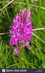 Dactylorhiza purpurella - Purple Orchis