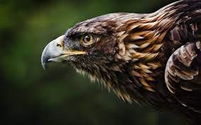 Eagle wallpaper ...