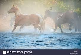 wild horses running through water. Contemporary Through Wild Horses Running Through Water In Horses Running Through Water A