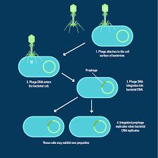 Lytic And Lysogenic Cycle Venn Diagram Lytic Vs Lysogenic Understanding Bacteriophage Life Cycles