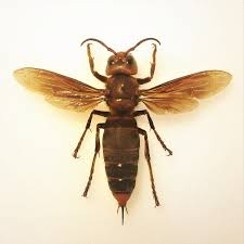 Bee And Wasp Identification Chart Uk Asian Giant Hornet Wikipedia