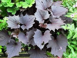 purple sweet potato plant. Beautiful Purple Sweet Caroline Bewitched Purple Potato Vine Ipomoea Batatas U0027Sweet  Purpleu0027 Inside Plant T