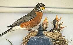 Image result for robin nest