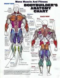 Muscle Group Workout Chart Cant Build Muscle Want To