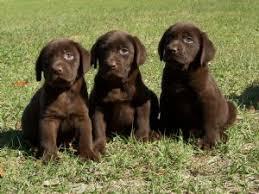 newborn chocolate lab puppies. Contemporary Newborn Chocolate Black And Yellow Lab Puppies 42011 Miles Inside Newborn Chocolate Lab Puppies P