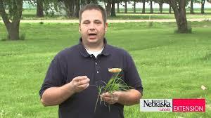Nutsedge Herbicides Controlling Nutsedge