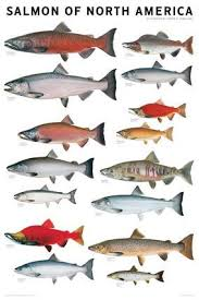 Very Nice Color Salmon Identification Chart Www
