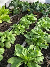 it s possible to grow greens during the winter months by selecting cold hardy vegetable varieties