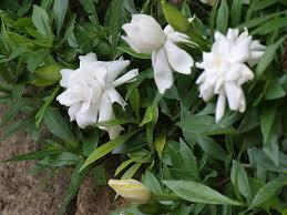 gardenia jasminoides belmont gardenia jasminoides fortuniana gardenia jasminoides veitchii gardenia jasminoides radicans