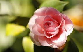 pink camellia flowers - HD Desktop ...