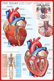 Cardiac Anatomy Chart Eurographics Laminated The Heart Educational Chart Poster Print 24x36