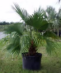 fan palm. chinese-palm fan palm l