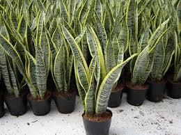 Hasil gambar untuk taner tanaman lidah mertua sevieria