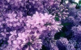 Purple Flowers Backgrounds Flowers Nature Petals Spring Purple Flower Wallpapers Hd