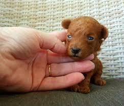 Toy Poodle Growth Chart Tinylatoyteacuppoodles