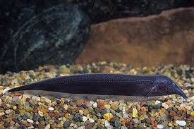 Black Ghost Knife Fish Compatibility Chart Pin On Freshwater Fish