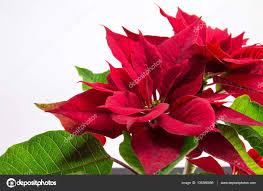 Baum Weihnachten Stern Weihnachtsstern Rot Auf Weiß