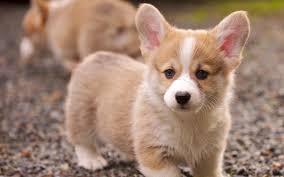 Pug Puppies wallpapers - HD wallpaper ...