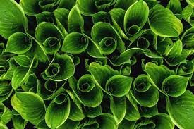 Green Leaves Green Leaves Background Texture Creative Layout M