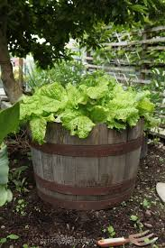 barrel garden. A Half Wine Barrel Makes Stylish And Effective Container To Grow Lettuce In Garden