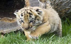 Iages Cute Tiger Cubs Wallpapers Hd ...