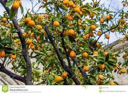 Amazoncom  23 Year Old 23 Ft Nagami Kumquat Tree  Citrus Kumquat Tree Not Bearing Fruit