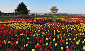 the roozen family farm is the largest tulip grower in north america tulips