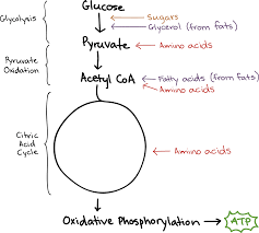 Complete The Chart For The Stages Of Cellular Respiration Connections Between Cellular Respiration And Other Pathways