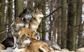 wolf puppies wallpaper.  Wallpaper Fanpop Pets Images Wolves Wallpaper And Background Photos And Wolf Puppies Wallpaper P