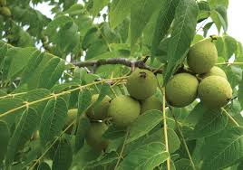 Farmer Profile Cobleu0027s Edible Nuts  GrowingGreen Fruit Tree Identification