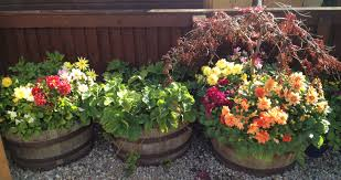half barrels planted with dahlias and strawberries