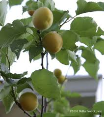 Native Fruit Trees Of Texas  HunkerFruit Trees For Central Texas
