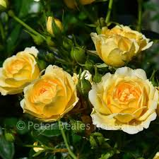 sweet memories patio shrub rose