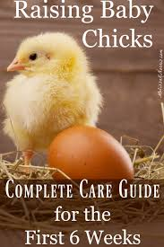 Chick Temperature Chart Raising Baby Chicks Beginners Guide For The First 6 Weeks