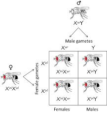 Chromosome Theory Of Inheritance Biology 1510 Biological