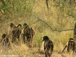 photo essay the wildlife experience at s okonjima nature baboons at okonjima nature reserve in