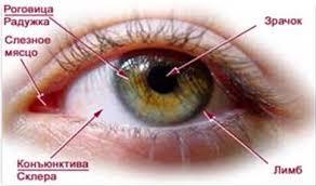 Органы чувств как источник информации об окружающем мире Рис 2 Глаз человека