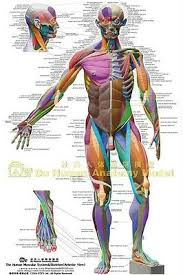Muscular System Anatomical Chart Colored Ecorche Poster