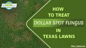 How To Treat Dollar Spot Fungus In Texas Lawns Gomow