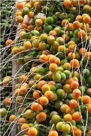 Palm Tree Fruit In Orange And Green Fruits  Frutas Raras Palm Tree Orange Fruit