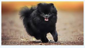 How To Win Buyers And Influence Sales with pomeranian black | Dog Breed
