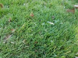 Identification Identifying Grass Type Gardening Landscaping
