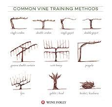 Vine Spacing Chart Illustrated Grape Vine Training Methods Wine Folly