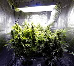 what cans yields will you harvest in your cur indoor grow light setup