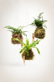 together with  together with  in addition Kokedama Fern indoor house plant with a live moss ball and furthermore  likewise  besides  besides  also  as well Indoor Plant Décor Book  Review for Houseplant Gardeners as well . on moss fern houseplant