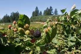 blackberry picking essay an inside look at oregon berry farms com  an inside look at oregon berry farms com oregon blackberries blackberry picking ap literature essay analysis