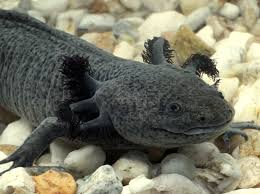 Small Picture 9 best Axolotl tank ideas images on Pinterest Aquarium ideas